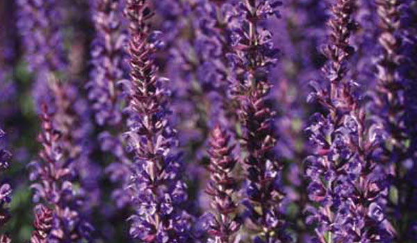 BalanceSana® mit Lavendel Kosmetik aus eigener Herstellung